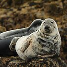 Farne Islands Seal by James1980