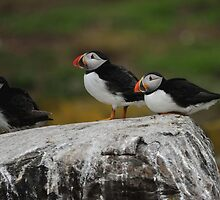 Puffins by James1980