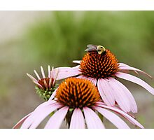 Bee Love Photographic Print