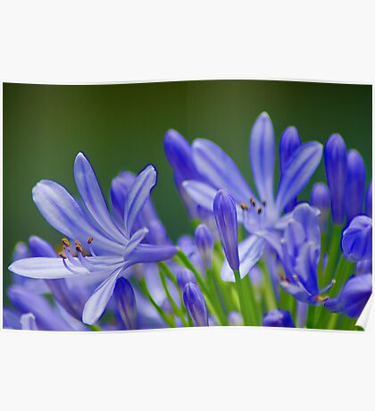 Blue Day Lilies Poster