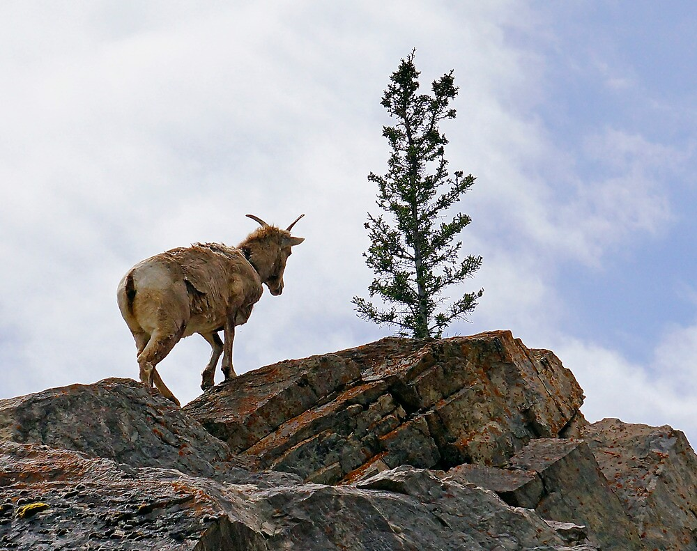 Young Mr Goat, Jasper National Park by Harry Oldmeadow