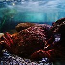 Spider Crab. by littleredbird