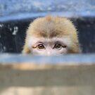 Barbary macaque (Macaca sylvanus) by DutchLumix
