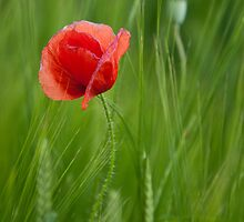 Red Poppy by Monika Nakládalová