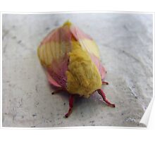 Rosy Maple Moth Poster