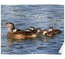 Wood Duck and babies Poster