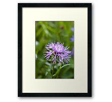 Purple Cornflower Framed Print