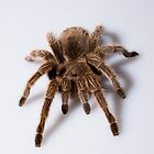 Tarantula by MarkElsworthPic
