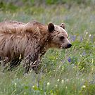 Brown Colored Grizzly by Luann wilslef