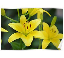Yellow Lilly 8107 Poster
