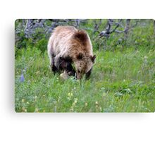 Hungry grizzly looking for food Canvas Print