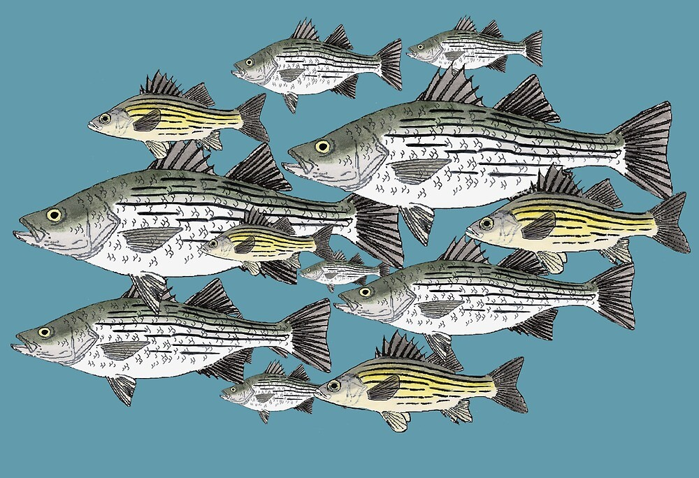 White and Yellow Bass School by fishfolkart