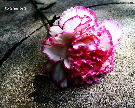 Pink Carnation No. 1# by Kaitlyn Bell