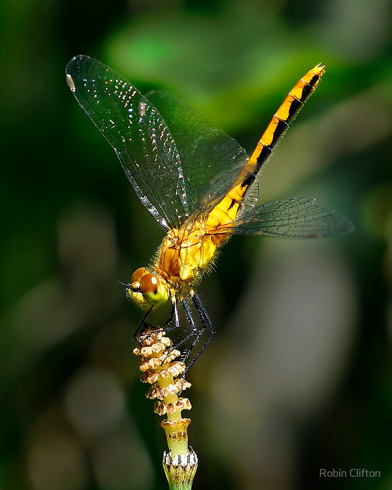 Dragonfly 1 by Robin Clifton