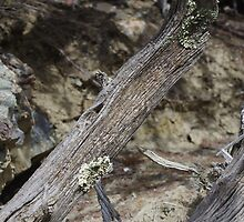Lichen on Driftwood by MsSexyBetsy