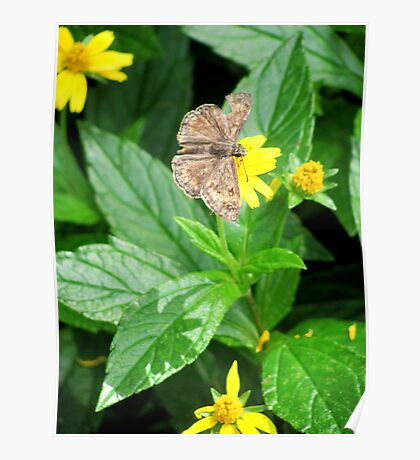Ragged duskywing Poster