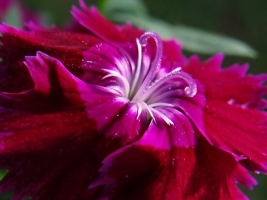 Carnation by vigor