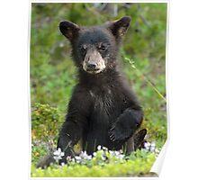 Baby Black Bear Poster