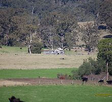 Dairy Shed & Cattle, Vacy, NSW Australia by SNPenfold