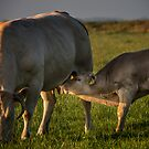 the cow and the calf by THHoang