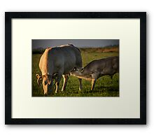 the cow and the calf Framed Print