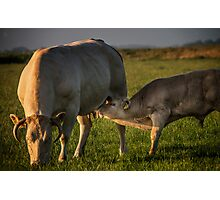 the cow and the calf Photographic Print