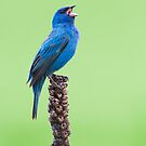 Indigo Bunting Singing the Blues. by Daniel Cadieux