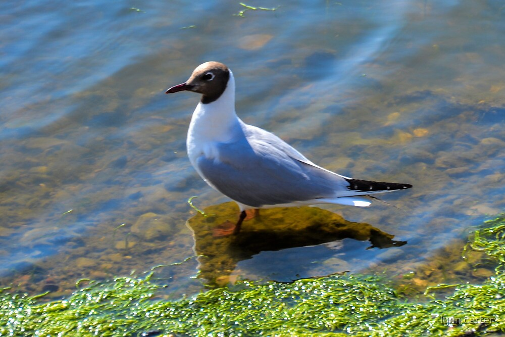Black Headed Gull at Charmouth ,Dorset.UK by lynn carter