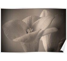Antique Iris Poster