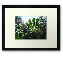277/365 lupins in the light Framed Print