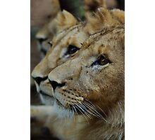 lion book ends Photographic Print