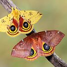 Io Moths by jimmy hoffman