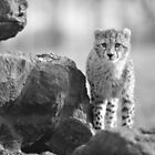 Cheetah by ChrisMillsPhoto
