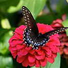 Black Swallowtail on Zinnia by autumnwind