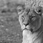 Lioness by ChrisMillsPhoto