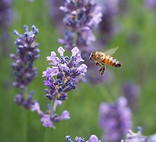 Honey Bee and Lavender by Rona Black