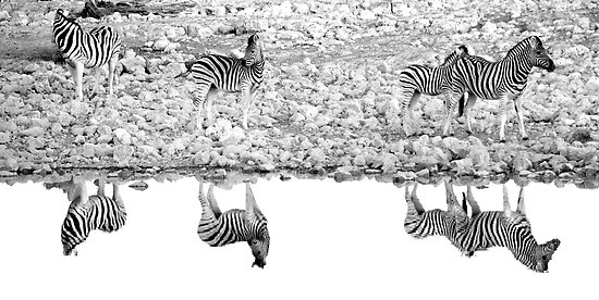 A Reflective Moment - Etosha National Park Namibia by Beth  Wode