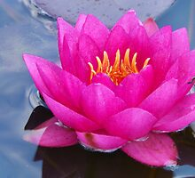 Brilliant Water Lily by PineSinger