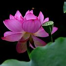 The world shines in the midst of lotus flower by Brian Bo Mei