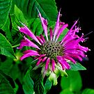Purple Bergamot ! by Elfriede Fulda