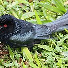 Spangled Drongo by triciaoshea