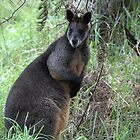 Swamp Wallaby by Lynda Harris