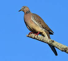 Spotted Turtle Dove taken at Balgal Beach, North Qld by Alwyn Simple