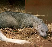 White - Tailed Mongoose by cs-cookie