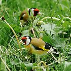 Goldfinch by William Davies