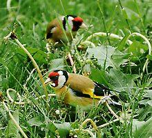 Goldfinch by lynxpilot
