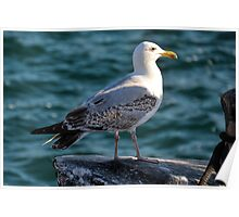 Gulls Rule Okay Poster