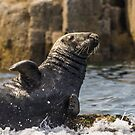 Grey Seal by Roger Hall