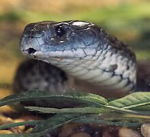 Black Mamba under Glass by Bryan Shane