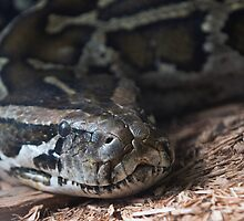 Burmese Python under Glass by Bryan Shane